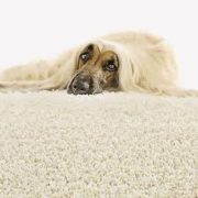 carpet cleaning clifton pets
